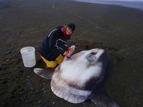massive  ton ocean sunfish species discovered