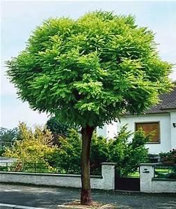 Petit Arbre Persistant : acacia boule ~ Melissatoandfro.com Idées de Décoration