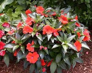 Impatiens Plants Attacked by Downy Mildew | Center for ...