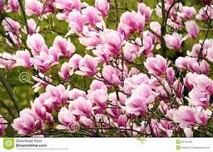 Fleur De Magnolia : fleurs de magnolia sur l 39 arbre image stock image du ~ Melissatoandfro.com Idées de Décoration