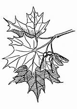 Maple Sugar Coloring Leaf Tree Clip Drawing Leaves Clipart  Psf Maples Nature Cliparts Pages Printable Commons Vector Wikimedia Honors sketch template