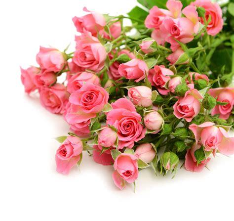 粉红玫瑰花植物高清图片 - 素材中国16素材网