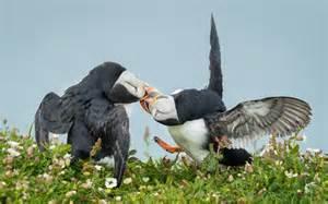 Atlantic Puffin Kissing