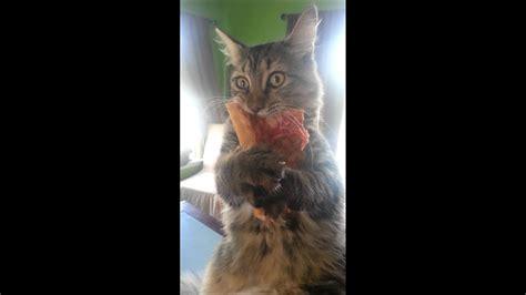 crazy pizza stealing kitten youtube
