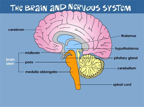Nervous System Parts Brain,