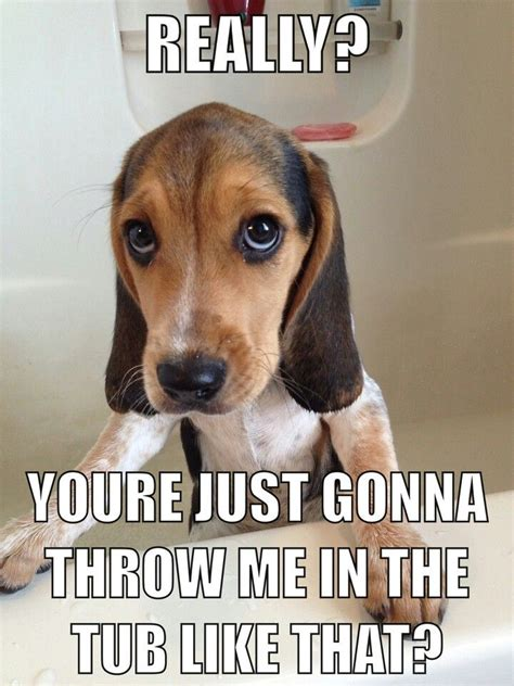 Beagle Meme - if you re a beagle parent you re going to relate to these 8 cute beagle memes bath beagle