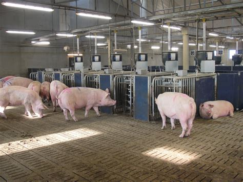 heat ls for pigs study questions method of formulating pig diets based on