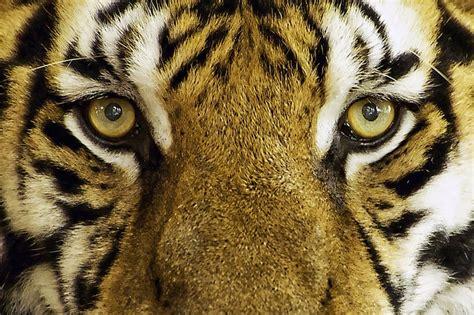 photo tiger feline wild wild animal  image