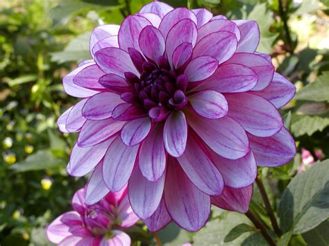 dahlia photos top 10 most beautiful flowers in the world mill door makes