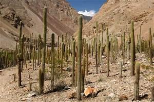 Wo Wachsen Kakteen : san pedro kaktus pflegen so geht 39 s ~ Frokenaadalensverden.com Haus und Dekorationen