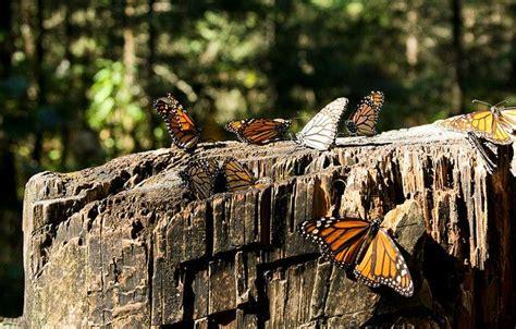 Karaliskie taureņi! Miljoniem karalisko taureņu - vienā no dabas liegumiem Sitakuaro rajonā ...