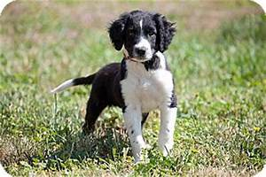 Jackson, ID - Springer Spaniel/Border Collie Mix. Meet ...