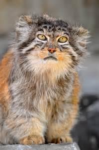 cat species biological combing ancient cat species