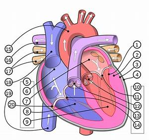 Human Heart Diagram | English: Diagram of the human heart ...