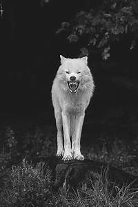 gif animals Black and White wolf nature wild wolve gray ...