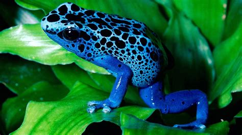nature poison dart frogs frog animals wallpapers hd