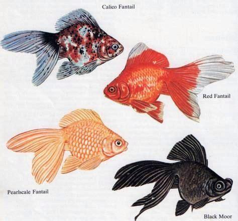 caring  pond goldfish  gardening info