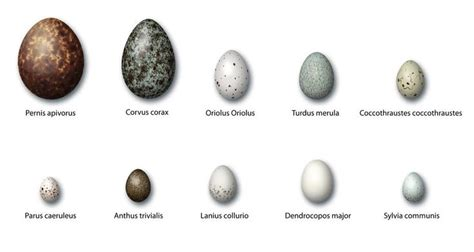 eggs images  pinterest bird drawings drawings