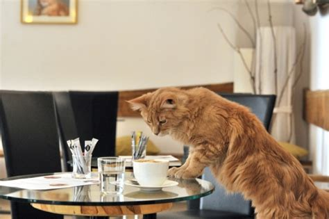 First Cat Cafe Opens In Europe Forustobe