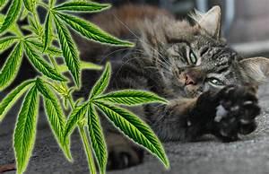 Balkonschutz Für Katzen : cannabis f r katzen die wichtigsten fragen zum einsatz von cbd haltigem l cat ~ Eleganceandgraceweddings.com Haus und Dekorationen