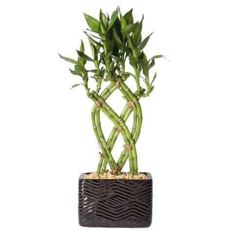 best food for bamboo plants costa farms lucky bamboo weave braid in 5 5 in galileo black square ceramic bamwvbrgalblksq