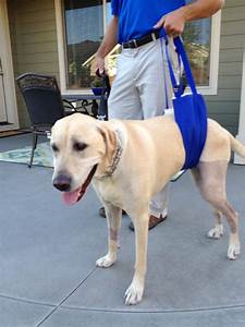 labrador retriever restored to active life following successful tplo surgery at westvet