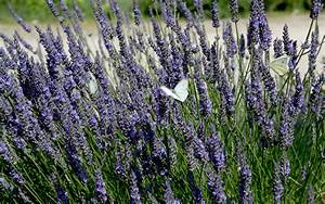 Lavendel Pflanzen Im Topf : lavendel 39 maillette 39 pflanze lavandula angustifolia lavendel labkraut lungenkraut ~ Frokenaadalensverden.com Haus und Dekorationen