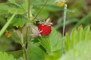 Plant De Fraise : fraises de bois strawberry info tips for growing fraises ~ Premium-room.com Idées de Décoration