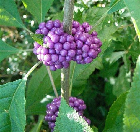 american beautyberry jelly gardenorg