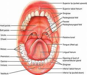 1  Oral Structures And Tissues