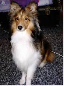 shetland sheepdog breed information   thriftyfun