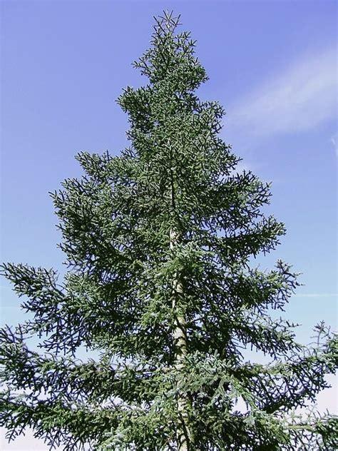 bargain welsh blue noble fir abies nobilis procera xmas