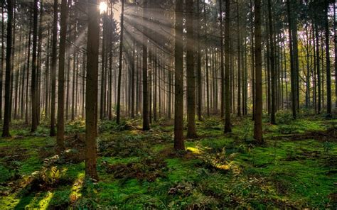 nature trees forest sun rays sun plants moss mist