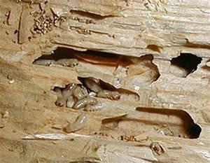 Traitement Bois Charpente : traitement des bois entreprise de traitement des ~ Edinachiropracticcenter.com Idées de Décoration