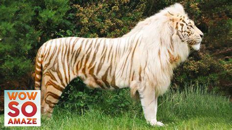 animals cross breed hybrid amazing
