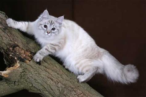 The Siberian Cat Your Best Photo Site For Beautiful Cats