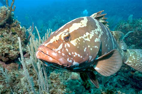 grouper cayman nassau grand population lags behind islands compass spawning successful populations proved