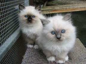 pedigree birman kittens for dereham norfolk