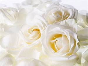 Animals Zoo Park: Red Rose Wallpapers, White Rose ...