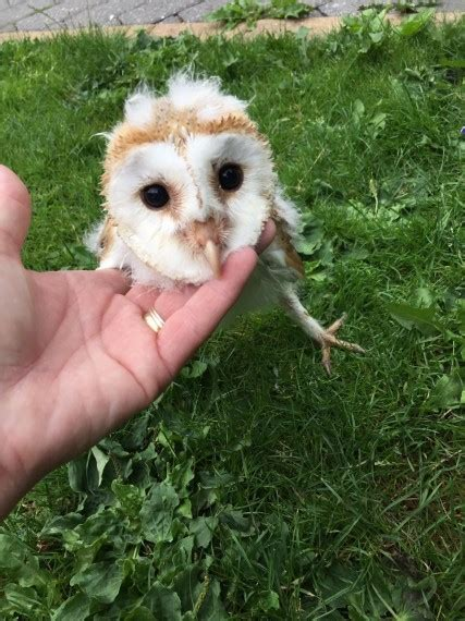 Barn Owl Breeders by Barn Owls For Sale Grimsby Lincolnshire Pets4homes