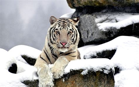 weißer tiger kostüm white tiger wallpaper hd 59 pictures