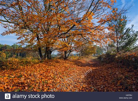 Shedding In Fall by Beech Tree Shedding Autumn Leaves Stock Photo 126955630