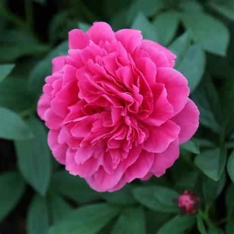 peony peonies flowers crousse felix growing plants garden fragrant grow hgtv planting feaster felicia eye