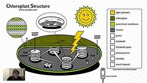 Gr 12 Chloroplast Structure  Science Video Tutorial