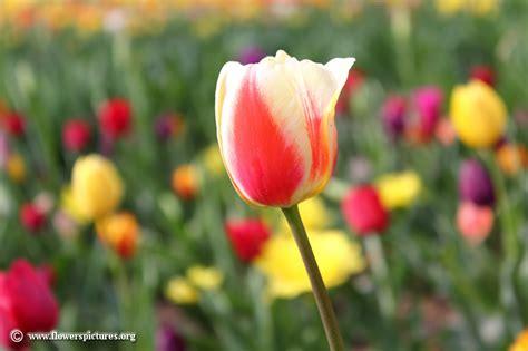tulip pictures tulip flower pictures tulip pictures tulip flower pictures
