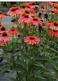 1000 images about cone flowers in containers on
