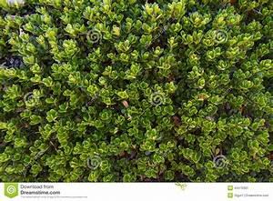 Pianta E Foglie Dell'uva Orsina Immagine Stock Immagine: 44470391