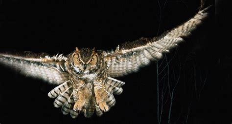 nocturnal animals night owls animal owl flight desert facts birds wallpapers awake prey mammals horned kill bird background desktop backgrounds
