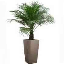 plante palmier exterieur en pot recherche c 244 t 233 jardin plante palmier