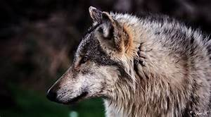 Wolf Profile by Yair-Leibovich on DeviantArt